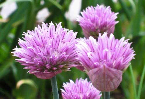 110527 How to Grow Chives (Allium schoenoprasum)
