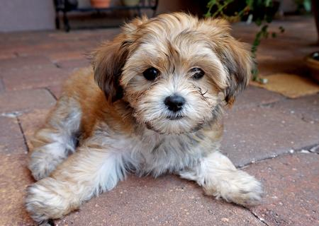 havanese mix cute havanese mix puppies havanese mix puppies 2