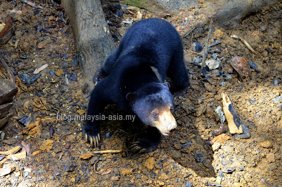 Photo of Bornean Sun Bear