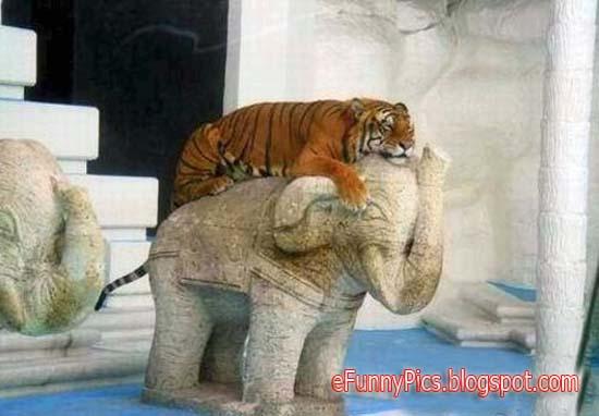 Chill Tigers