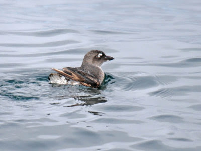 Oregon sea bird: Cassin's Auklet