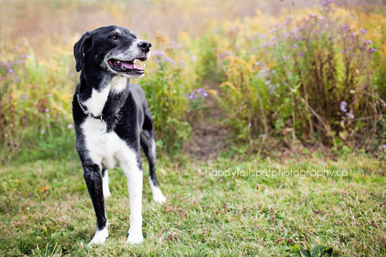 Autumn Ontario pet photography session with black and white border collie/lab mix senior dog in Burlington park.
