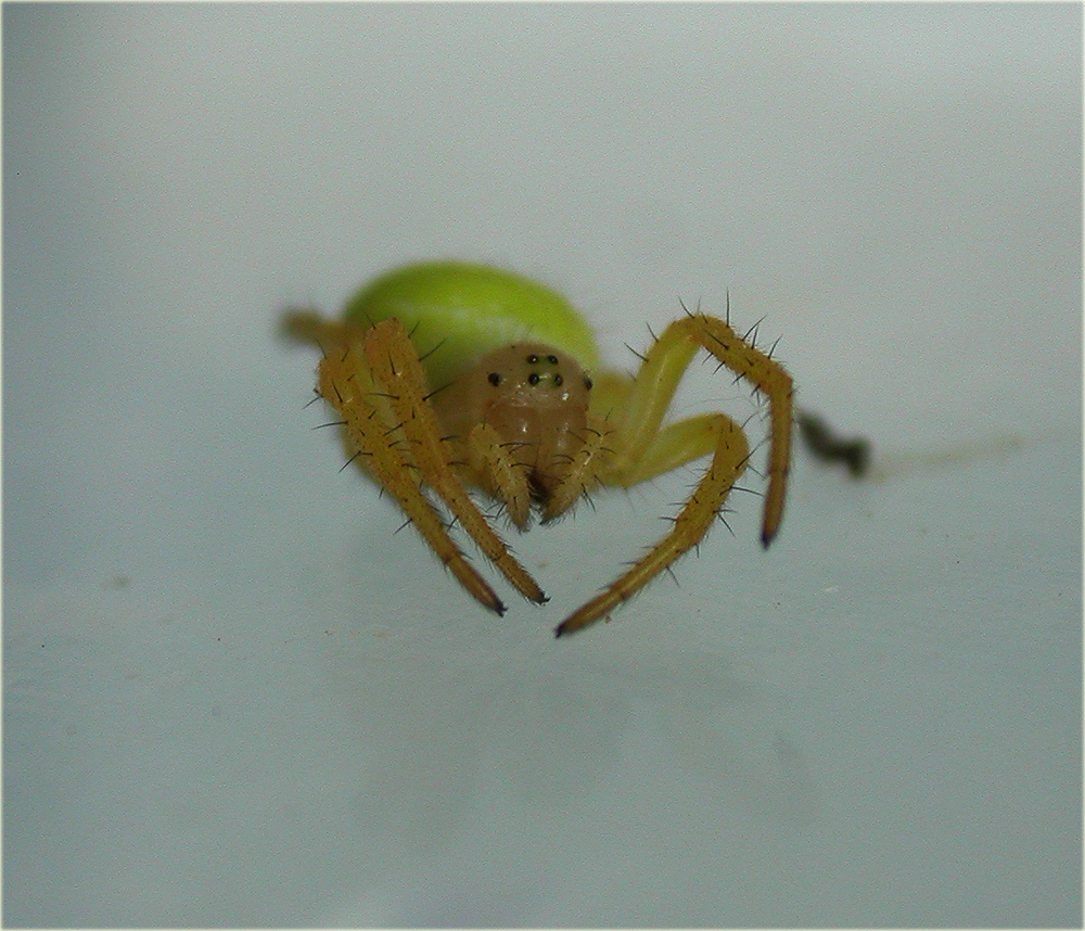 Arachnerds green orb web spiders araniella sp for Extra mural cemetery brighton
