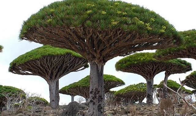 pohon naga