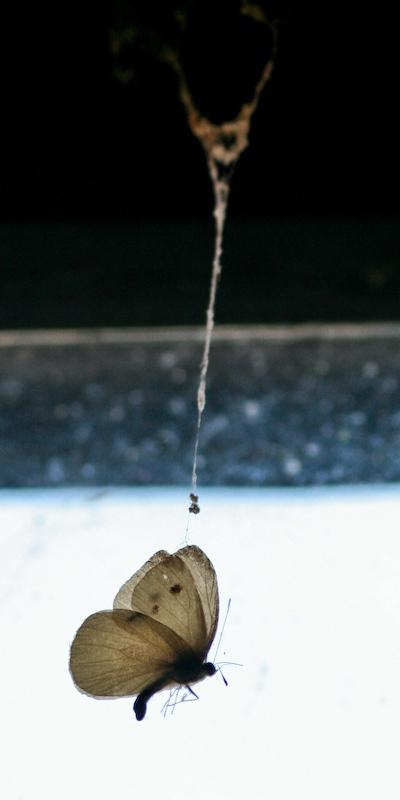 Død sommerfugl hænger i spind bag vindue