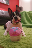 Rooney is the best Boston Terrier ever!
