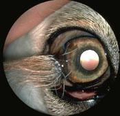 Common Dog Eye Problems