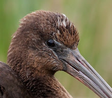 Glossy Ibis