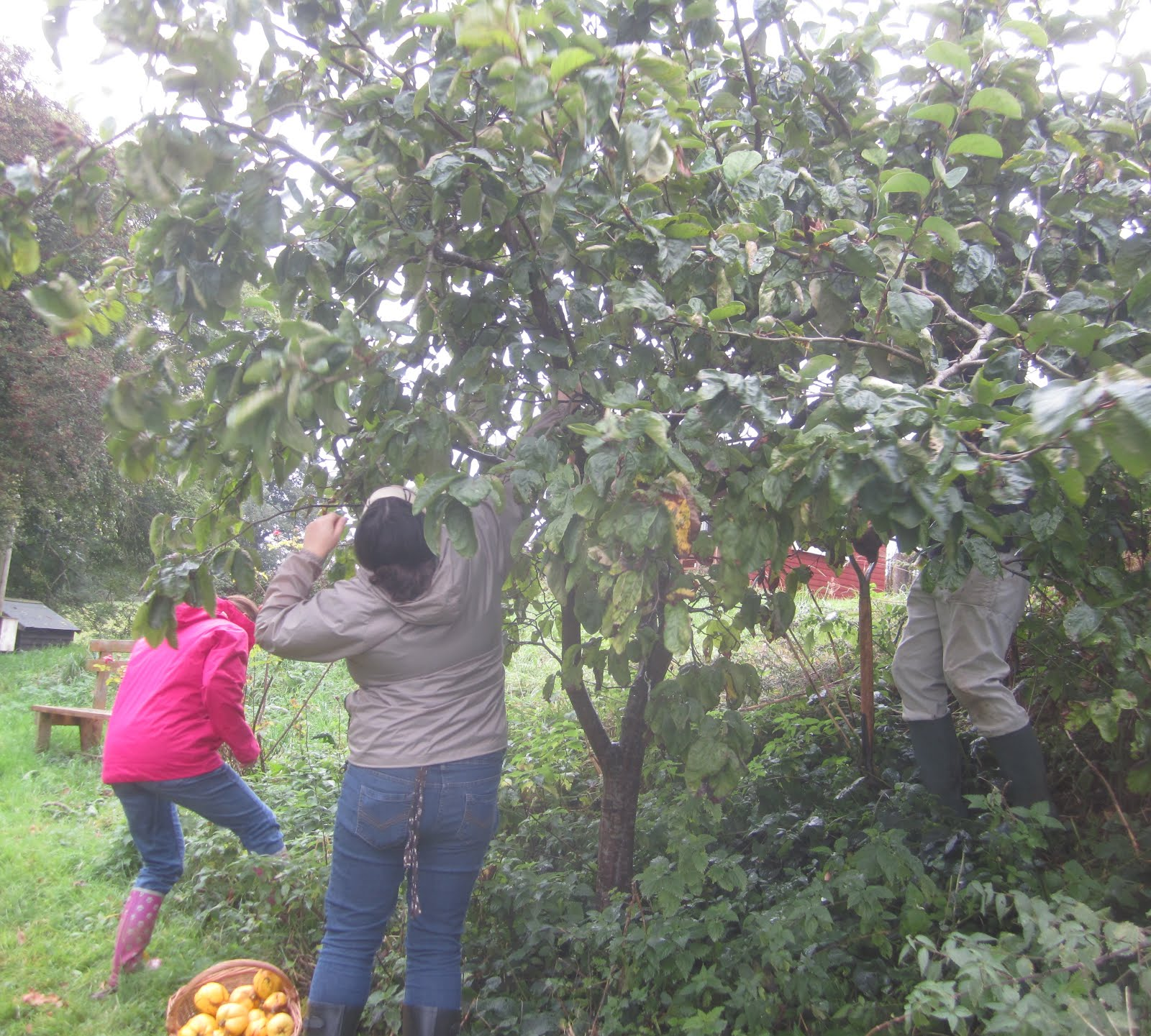 Harvesting quince