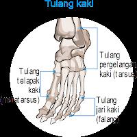 tulang kaki
