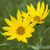 Narrow-leaved Sunflowers