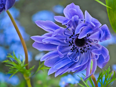 Floral Photography - Blue Poppy Flower in the Wind