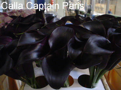 Calla Captain Paris image