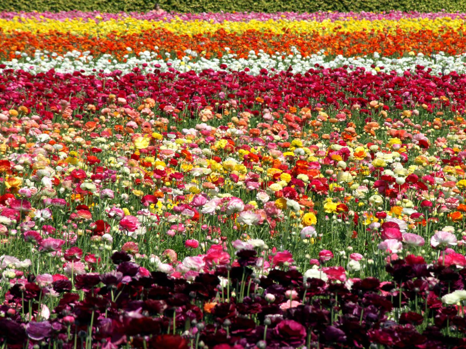 wallpapers Netherlands Flower Fields