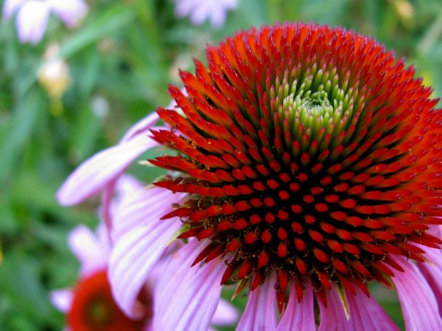 Methow Valley Herbs Echinacea Reclaiming This Powerful Plant