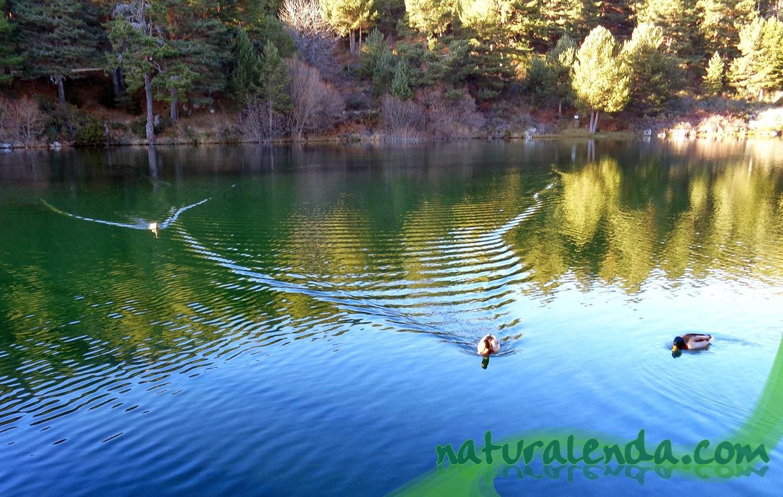 aterrizaje de patos en el agua
