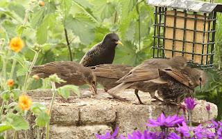 Starlings by Findlay Wilde