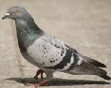 Short essay on pigeon