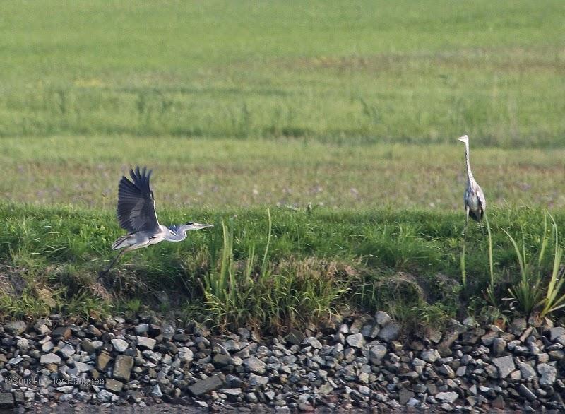 Grey Herons on a lake