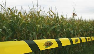 Rússia suspende importações de milho transgênico da Monsanto