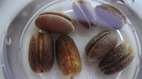 canary date palm seeds