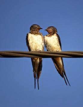 Dos golondrinas mirándose una a la otra como si estuviesen enamoradas