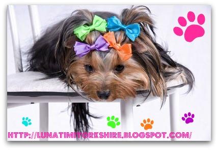 Cómo peinar a un Yorkshire Mascotas - Peinados Para Yorkshire