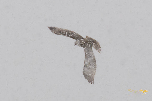 Soaring off into the snowflakes, this red-tailed hawk was rehabilitated and released by Raptor Education Group.