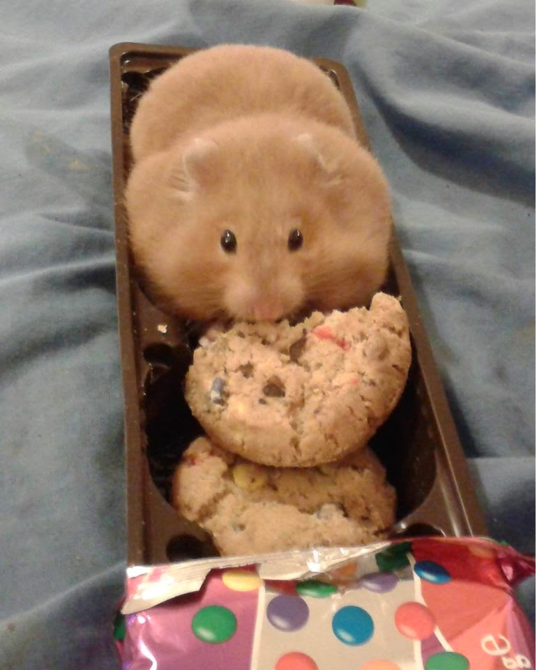 Funny animals of the week - 9 May 2014 (40 pics), cute animals, animal photos, hamster eating cookie