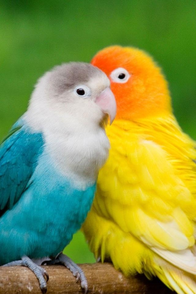 Love Birds HD Mobile Wallpapers For Your Smart Phone
