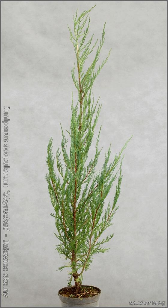 Juniperus scopulorum 'Skyrocket' - Jałowiec skalny 'Skyrocket'