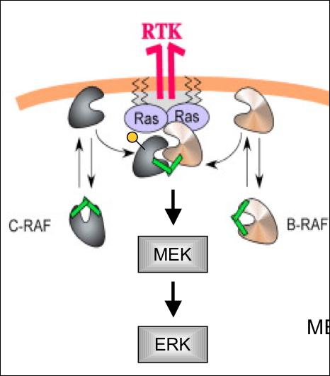 MAPK/ERK pathway - Wikipedia