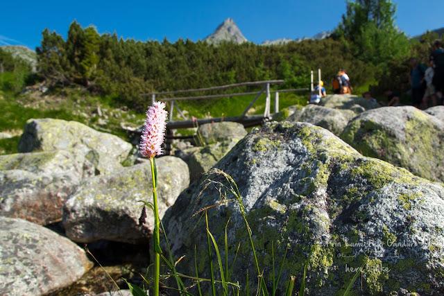slovakia-rysy-peak-hike-flowers
