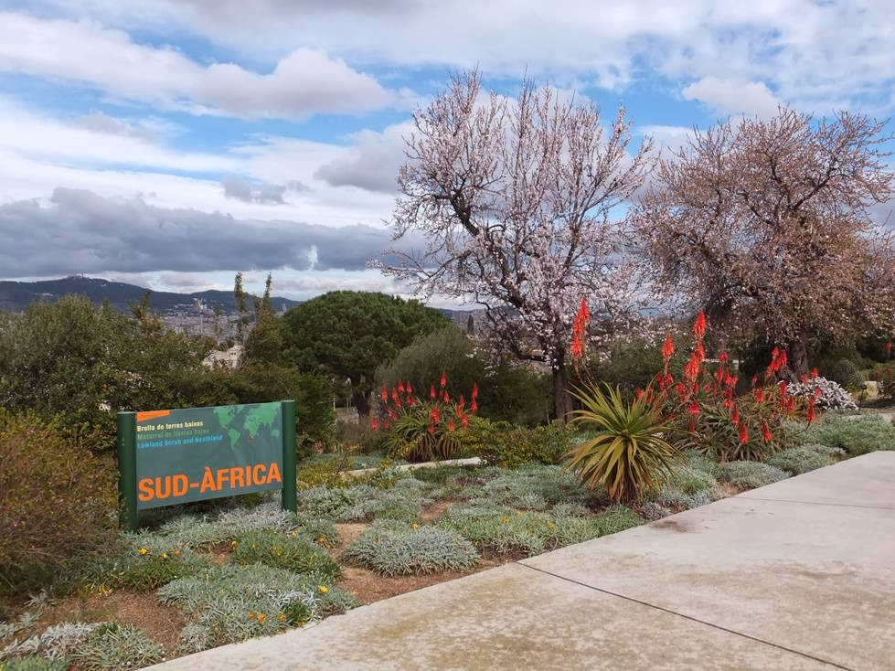 Flowering Aloes in the South Africa Garden at Botanical Garden of Barcelona