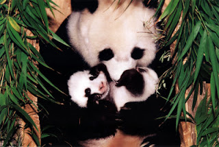 Contoh Teks Descriptive Hewan Panda