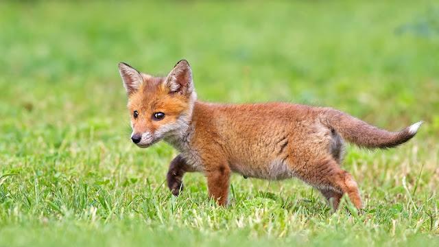 Cute Fox Cub HD Wallpaper