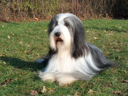 Bearded-Collie-Puppies-For-Sale-3.jpg
