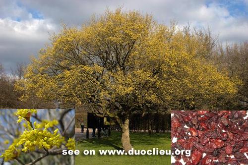 Cornus officinalis Sieb. et Zucc.