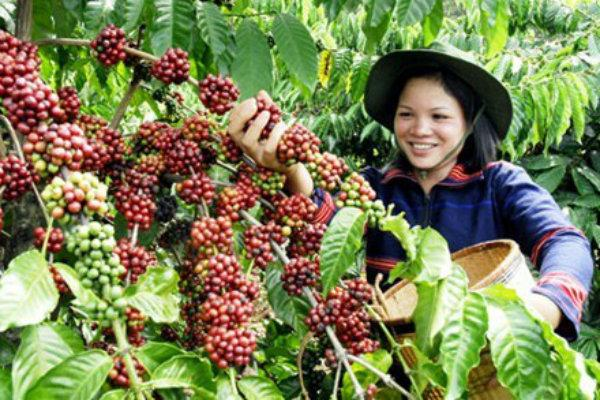 coffee production in the philippines pdf