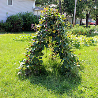 Foy Update: Bean teepee of 'Asian Red Noodle Beans' and purple hyacinth beans