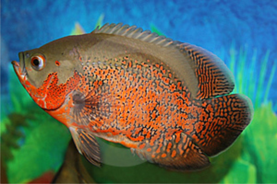 Fish 20oscar 20varieties as well Viewtopic likewise Pacu Freshwater Species Of The Week also Types Of Fishes And There Foods furthermore Tropical Fish Beaverton Or 2. on oscar cichlid eggs