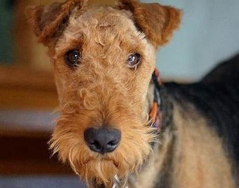 Animals Unique: Airedale Terrier Dog