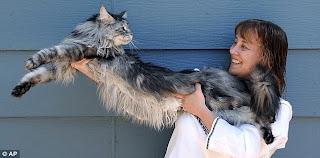 7 Tips Merawat Kucing Maine Coon