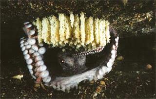 Осьминог охраняет свою кладку