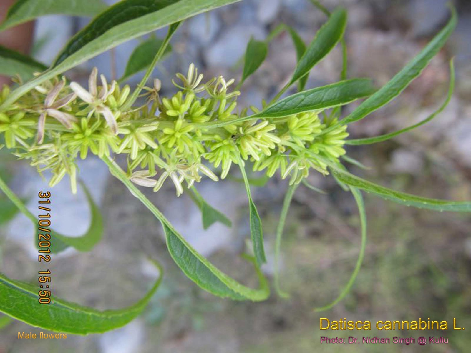 Datisca-cannabina-False-Hemp-Acalbir-Male-flower.jpg