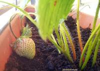 Une fraise en vue, vite vite mangeons-là!! Ho non elle n'est pas mûre encore!