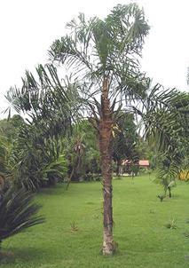 Syagrus macrocarpa (Maria rosa palm)