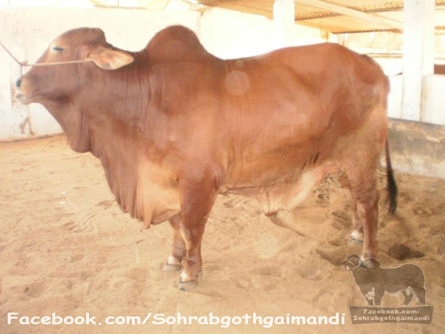 Amir Dilpasand Cattle Farm 2013
