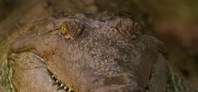 the endangered species of orinoco crocodile