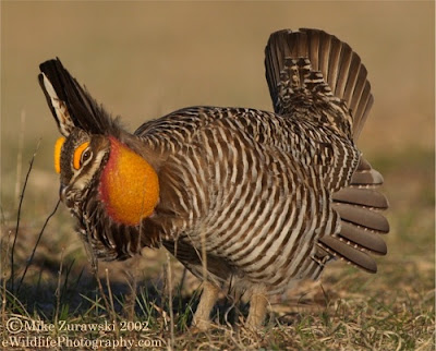 gallo de las praderas Tympanuchus cupido